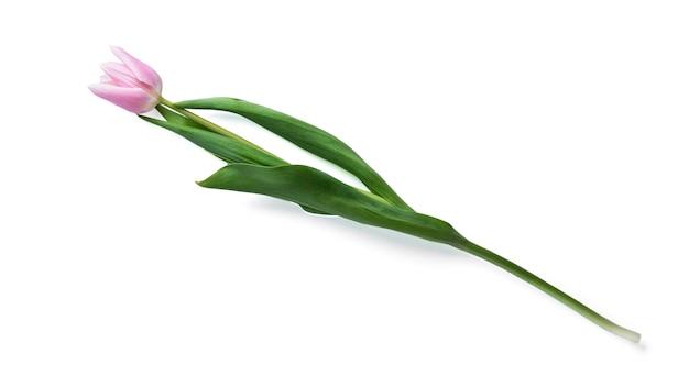 Tulp bloem geïsoleerd op een witte achtergrond. hoge kwaliteit foto