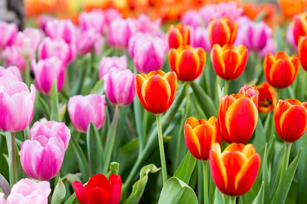 Tulp bloemenvelden