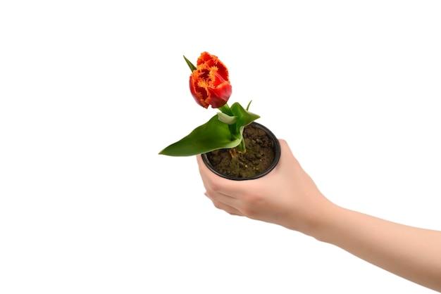 Tulp in een pot in handen van de vrouw geïsoleerd op wit.