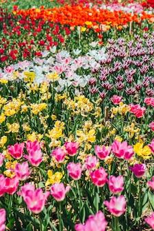 Tulp. mooi boeket van tulpen. kleurrijke tulpen.