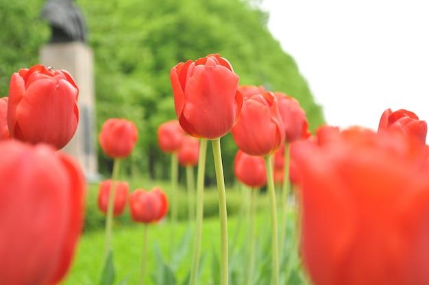 Tulp mooie bloemen achtergrond