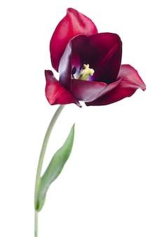 Tulp op een lichte achtergrond