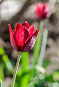 Tulp op het bloembed