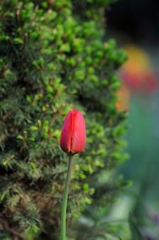 Tulp. tulpenbloem in de tuin. natuur achtergrond.