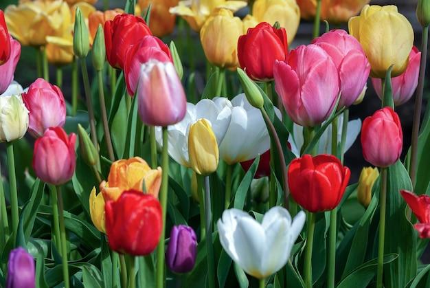 Tulpen bloeien in de lentetuin