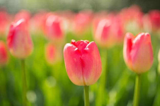 Tulpen bloem keukenhof boerderij. lente seizoen in amsterdam nederland.