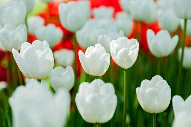 Tulpen, bloembed met tulpen die in verschillende vormen en kleuren bloeien, de eerste lentetulpen in het park