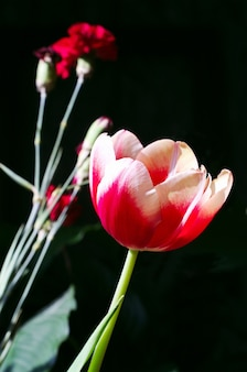 Tulpen en anjers op zwart