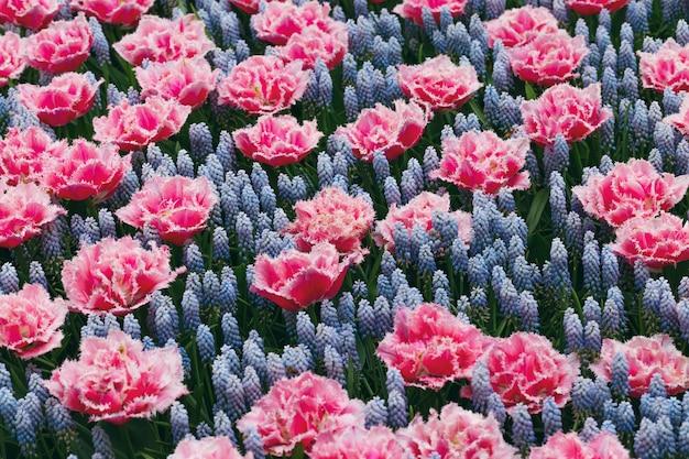 Tulpen en muscari hyacint veld in nederland