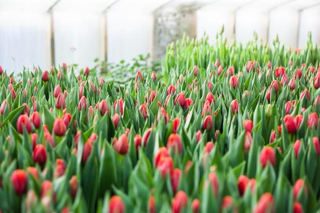 Tulpen gekweekt in een kas, natuurlijke bloemen, rassenplanten