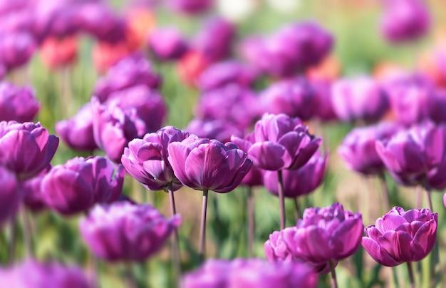 Tulpen in het bloembed van de stad, selectieve aandacht. bloeiende tulpen. tulpentuin in het voorjaar.