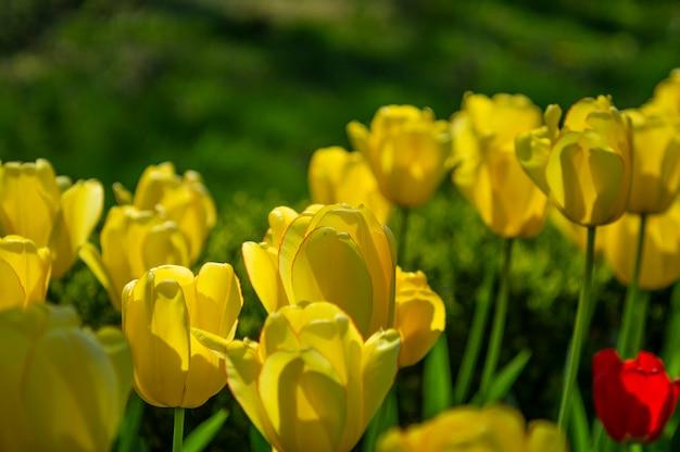 Tulpen in het park