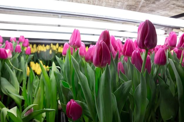 Tulpen kweken in een kas gemaakt voor uw feest