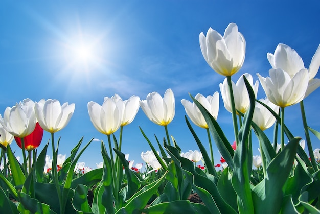 Tulpen op blauwe lucht