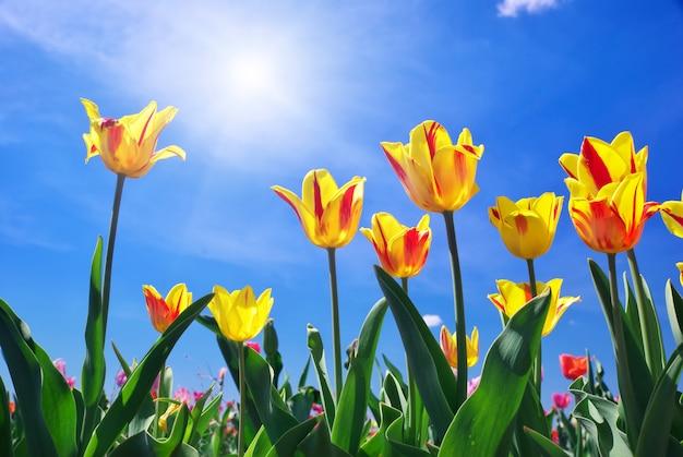 Tulpen op de hemel
