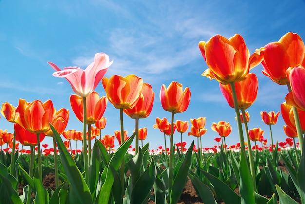 Tulpen op lucht