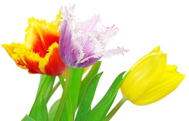 Tulpen op wit