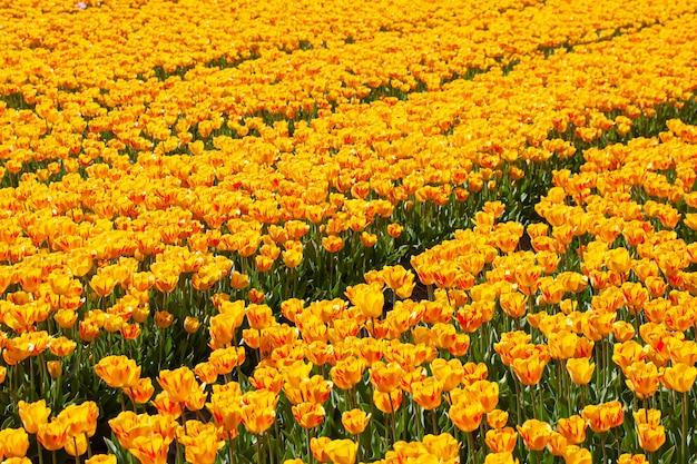 Tulpen veld in cruquius, holland, met geel rode tulpen
