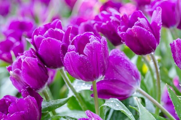 Tulpenbloem met groene bladachtergrond bij de winter of de lentedag.