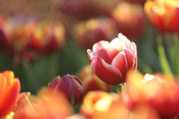 Tulpenbloemen in zonsondergang en regendruppel