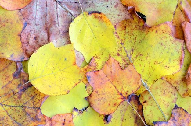 Tulpenboom gele bladeren die in de herfst op de grond zijn gevallen in een bos