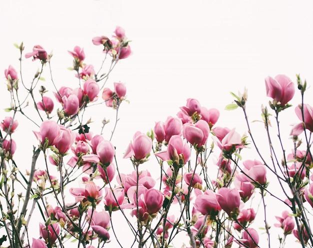Tulpenboom (liriodendron-tulipifera) met roze bloemen sluiten omhoog