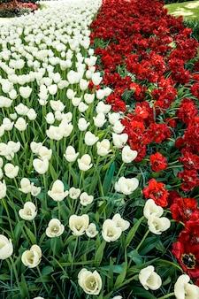 Tulpengebied in keukenhof-tuinen, lisse, nederland