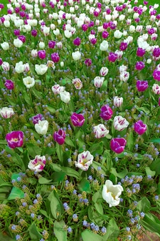 Tulpenveld in keukenhof bloementuin, lisse, nederland, holland