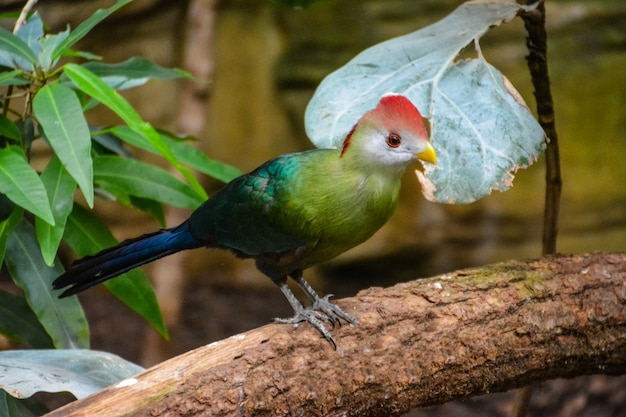 Turaco met rode kuif, tauraco-erythrolophus, zeldzame gekleurde groene vogel met rode kop, in de natuurhabitat. wildlife scène uit de natuur.
