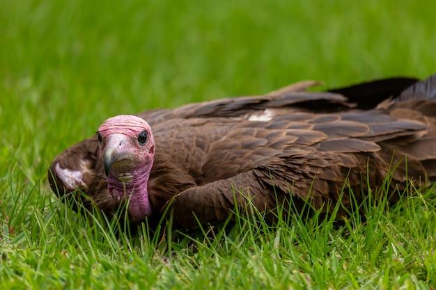 Turkije met een roze kop en zwarte bek zittend op het gras in gambia