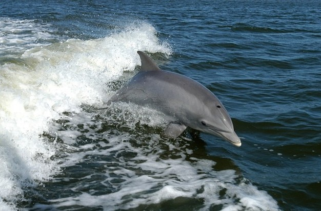Tursiops australis dolfijn burrunan