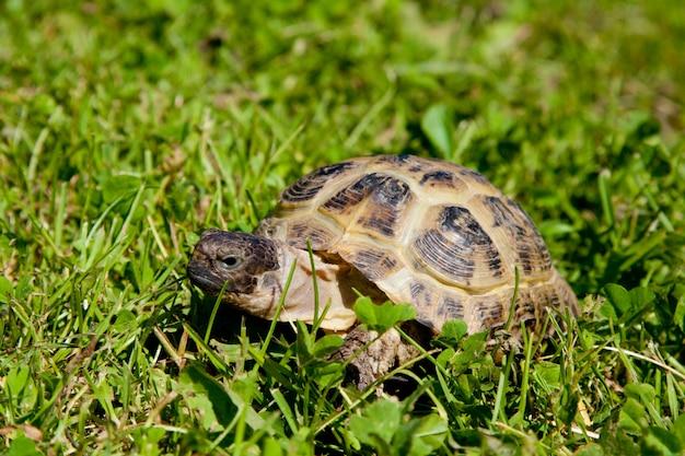 Turtle op gras