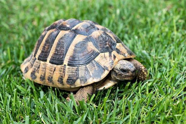 Turtle op het gras