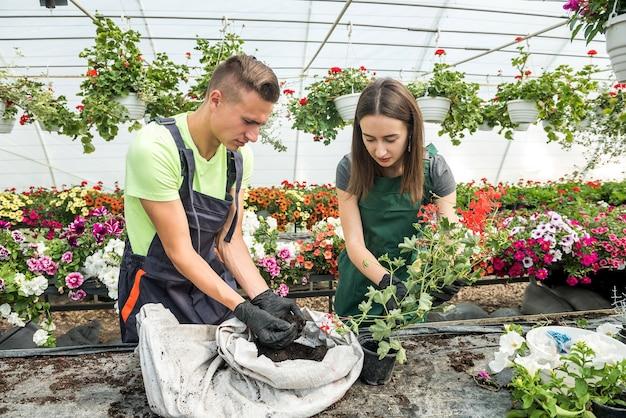 Twee aantrekkelijke jonge tuinders werken samen aan het kweken van bloemplanten voor verkoop in een kas