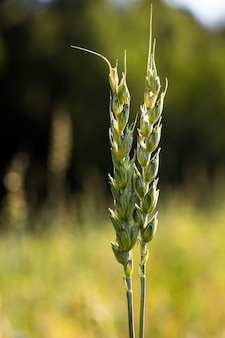 Twee aartjes van tarwe op de achtergrond van een boerenveld. het concept van het groeien en groeien van brood.