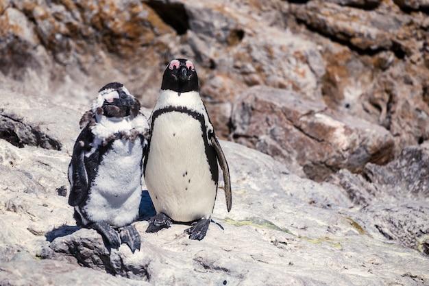 Twee afrikaanse pinguïnen die zich de rots bevinden - de knappe foto van het vriend en lelijke vriendenconcept