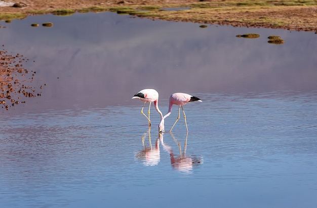 Twee andes-flamingo's lopen in de lagune bij de uyuni-zoutvlakte in bolivia, zuid-amerika