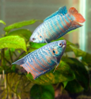 Twee aquariumvissen zwemmen cirkelen om elkaar heen wazig ba