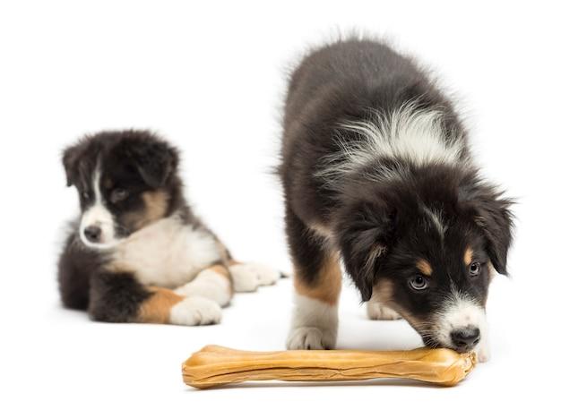 Twee australian shepherd-puppy's, één eet knokkelbeen terwijl andere tegen witte achtergrond wegkijkt