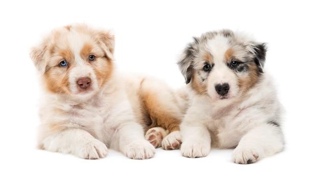Twee australian shepherd pups, liggend tegen elkaar tegen een witte achtergrond