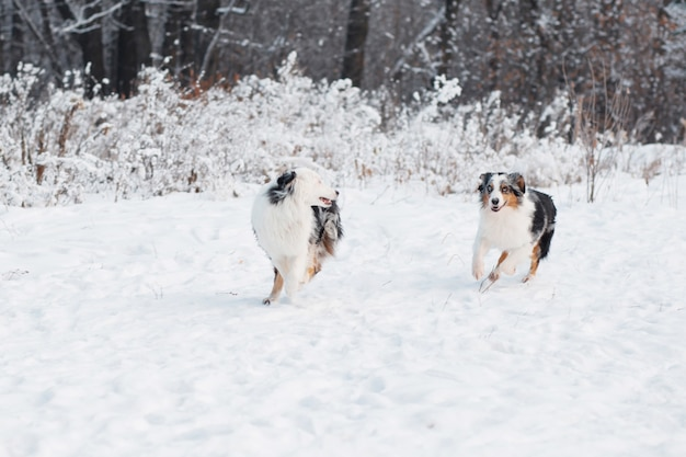 Twee australische herder runing in winter woud. bevroren planten.