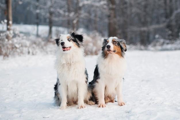 Twee australische herder zitten in de winter woud.