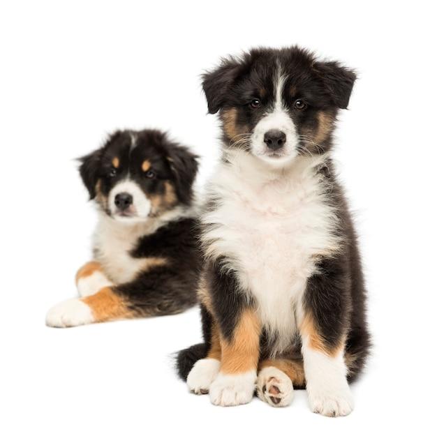 Twee australische puppy van de herder, die met nadruk op voorgrond tegen witte achtergrond zit