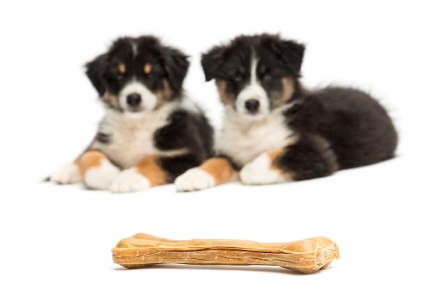 Twee australische puppy van de herder, liggend en bekijkend knokkelbeen tegen witte achtergrond