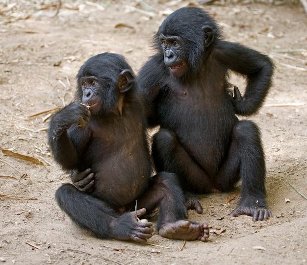 Twee baby bonobo zitten op het gras. democratische republiek van congo. nationaal park lola ya bonobo.