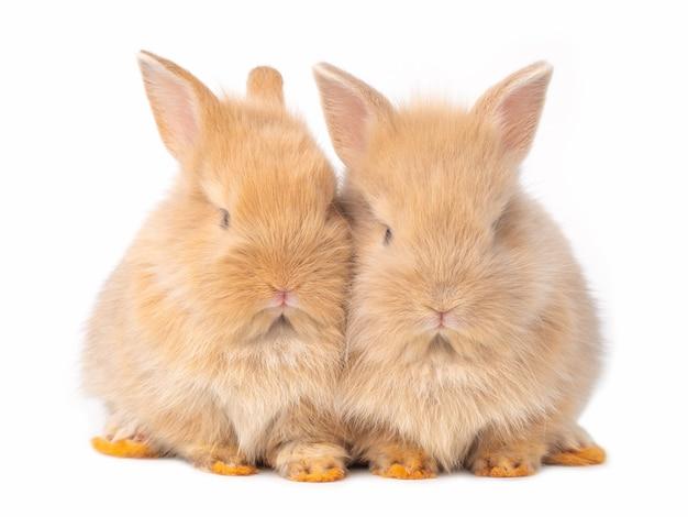 Twee baby bruine konijnen die op wit worden geïsoleerd