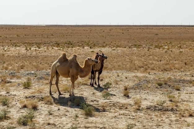Twee bactrische kamelen lopen langs de zandwoestijn in kazachstan