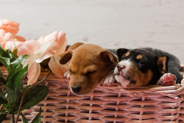 Twee basenji-puppy's in mand met bloemen