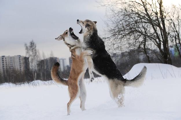 Twee bastaardhonden vechten om een sneeuwachtergrond