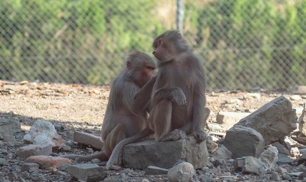 Twee bavianen apen in de dierentuin